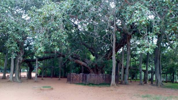 Banyan tree near the viewing point