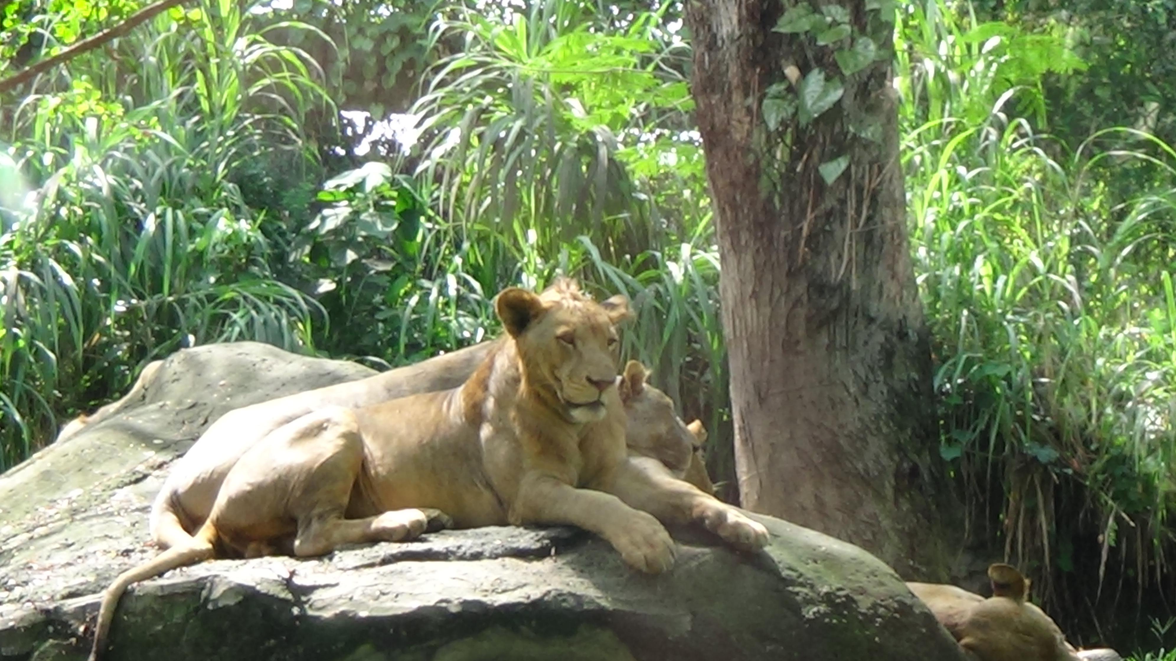Lion at at Bali Safari and Marine Park