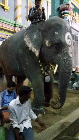 Temple Elephant Laxmi